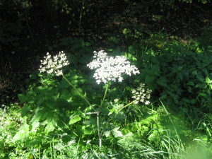 10 ground elder