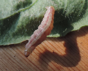 Unidentified red campion caterpillar
