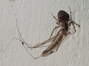 Unidentified spider with cranefly
