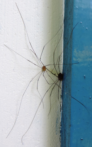 Unidentified harvestmen on house wall