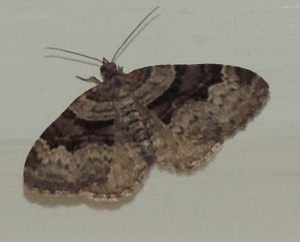 Unidentified carpet moth