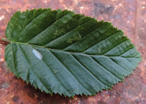 Silk 'tent' on hornbeam leaf