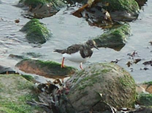 Turnstone (winter)