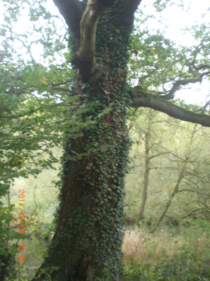 Oak tree with Ivy