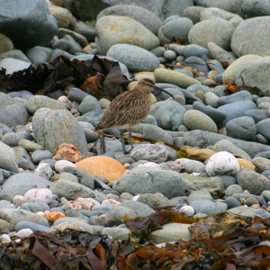 Whimbrel (one entangled in netting)