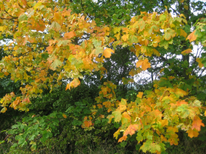 Autumnal Sycamore