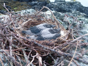 Hooded Crow nestlings