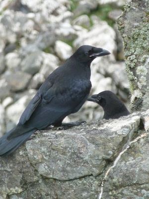 Recently fledged Ravens