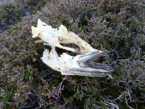 White-tailed Eagle prey remains?