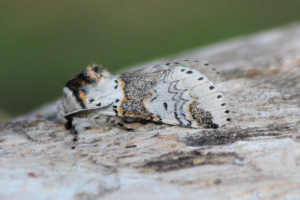 Sallow Kitten
