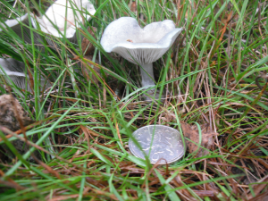 Greeny grey fungus in woodland grass