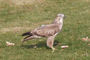 Common Buzzard ?
