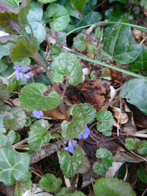 bugle or ground ivy