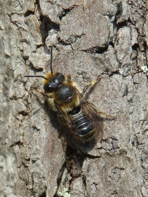 Bee on bark