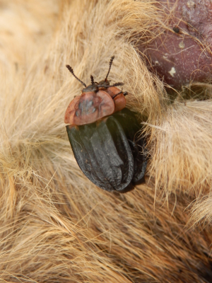 Beetle on carrion