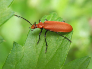 Red beetle on Dogs Mercury.