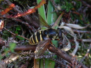 Hoverfly on bog