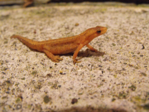 SMOOTH NEWT (FEMALE)