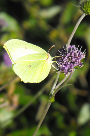 MALE AND FEMALE BRIMSTONE BUTTERFLIES