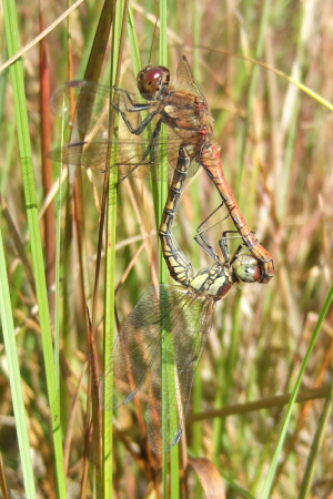 MATING DRAGONFLIES (THE COPULATION WHEEL)