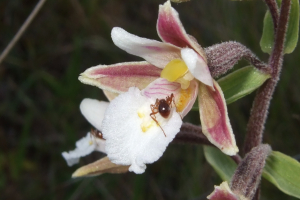 MARSH HELLEBORINE WITH RED ANTS
