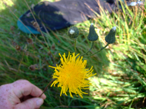 Hawkbit or Catsear ?