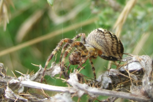 SPIDER ON THISTLE