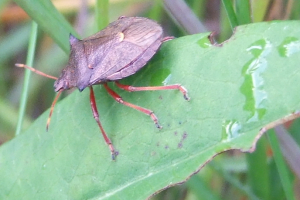 SPINEY SHIELD BUG