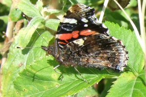 RED ADMIRAL TOP AND SIDE VIEW