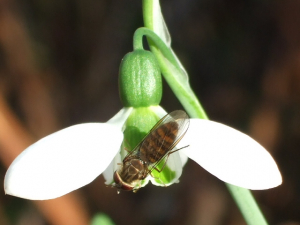 HOVERFLY ON SNOWDROP