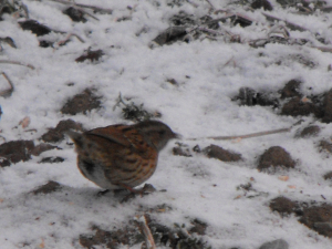A Dunnock in the snow.
