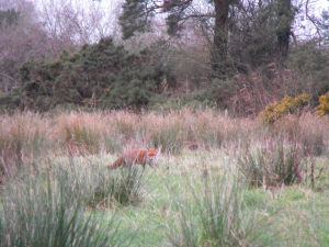 FOX HUNTING IN RUSHES