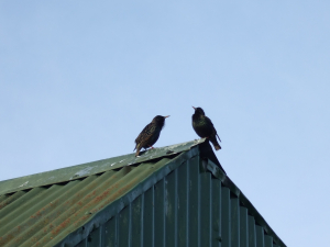 COURTING STARLINGS