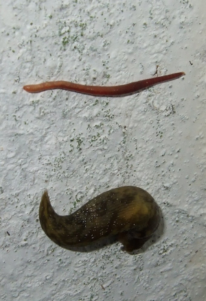 A Slug and an Earthworm