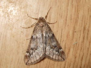 PALE BRINDLED BEAUTY  ?