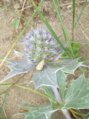 Snail on Sea Holly
