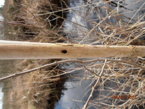 Hole in Reedmace