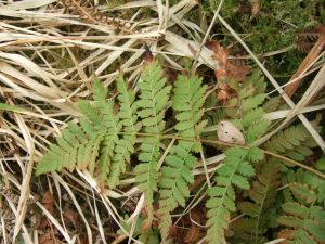 Fern Id please