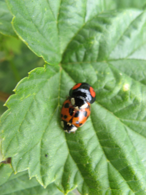 different ladybirds mating
