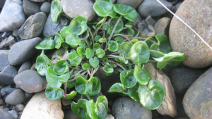 Small plant found on the shoreline at Craster