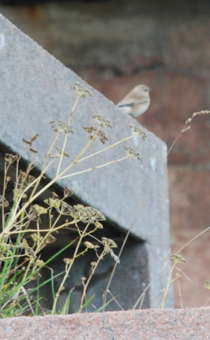 Small bird observed in Jersey
