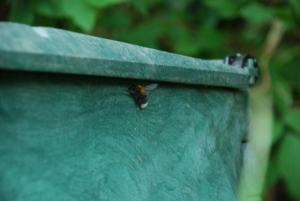 Large bee in compost bin