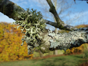 lichen on cherry tree