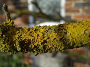 Lichen on hibiscus