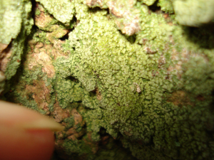 Lichen on poplar