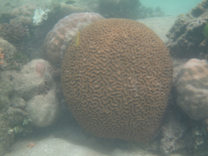 A very large brain coral