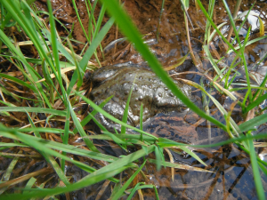 Common Toad with Spawn