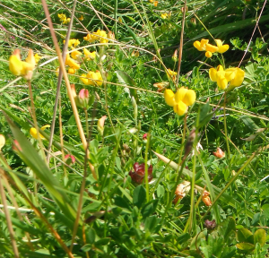 Common Bird's-foot Trefoil