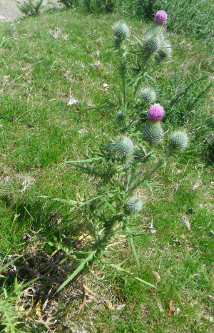 Spear Thistle
