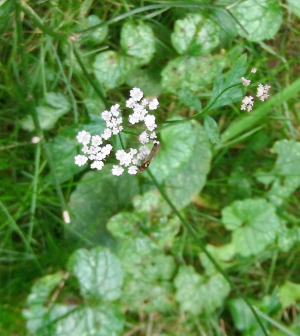 Hedge Parsley